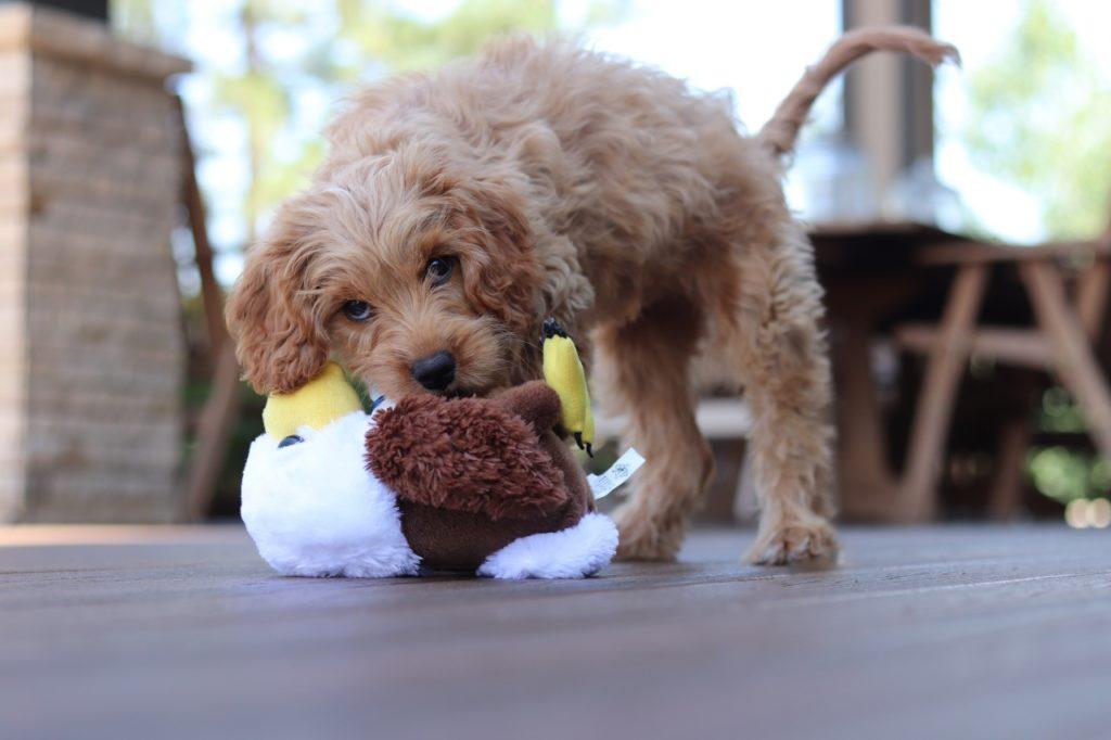 おもちゃで遊ぶトイプードル