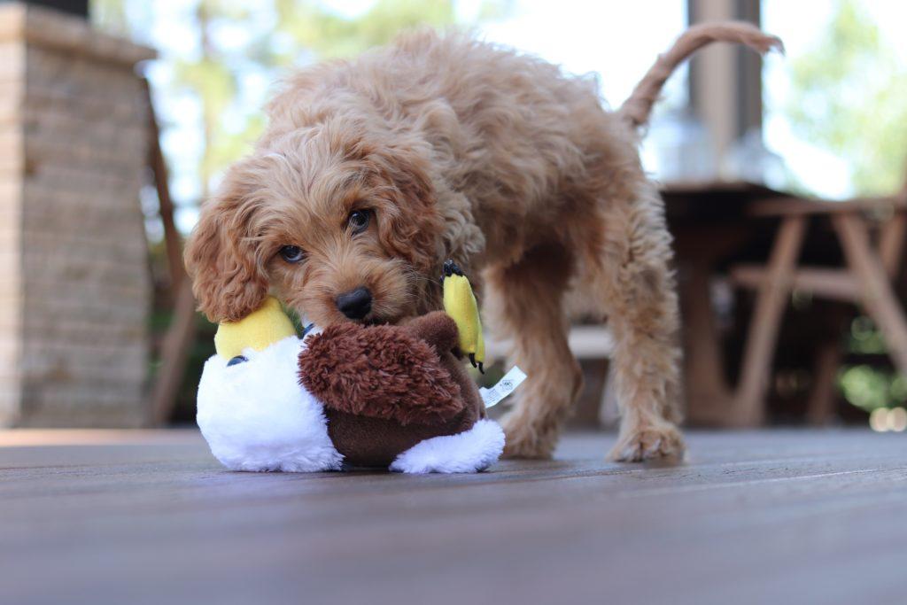犬がおもちゃで遊ぶ