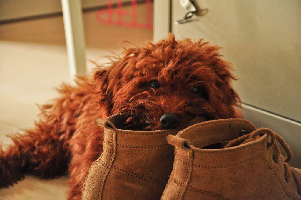 靴とプードル