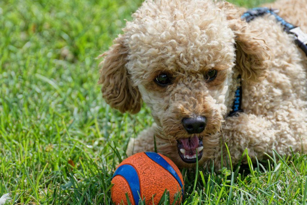 ボールで遊ぶプードル