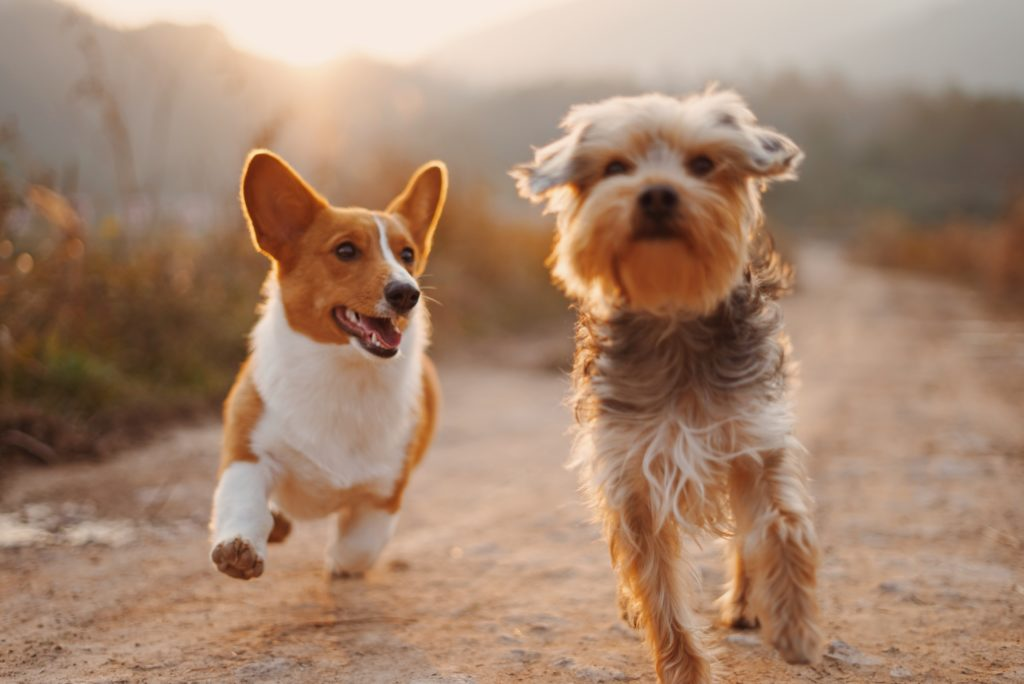 コーギーとシュナウザー二匹の犬が一緒に走っている