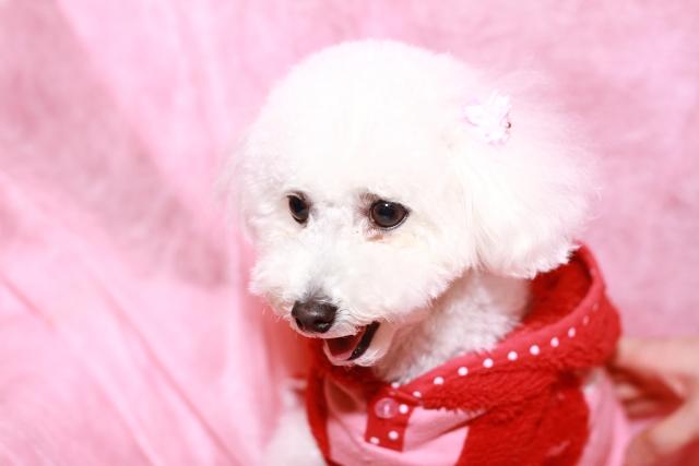 トイプードル ホワイト 赤い服