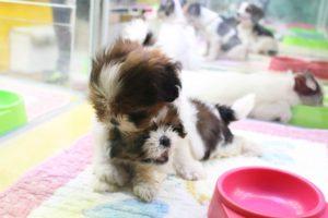 ペットショップ 子犬