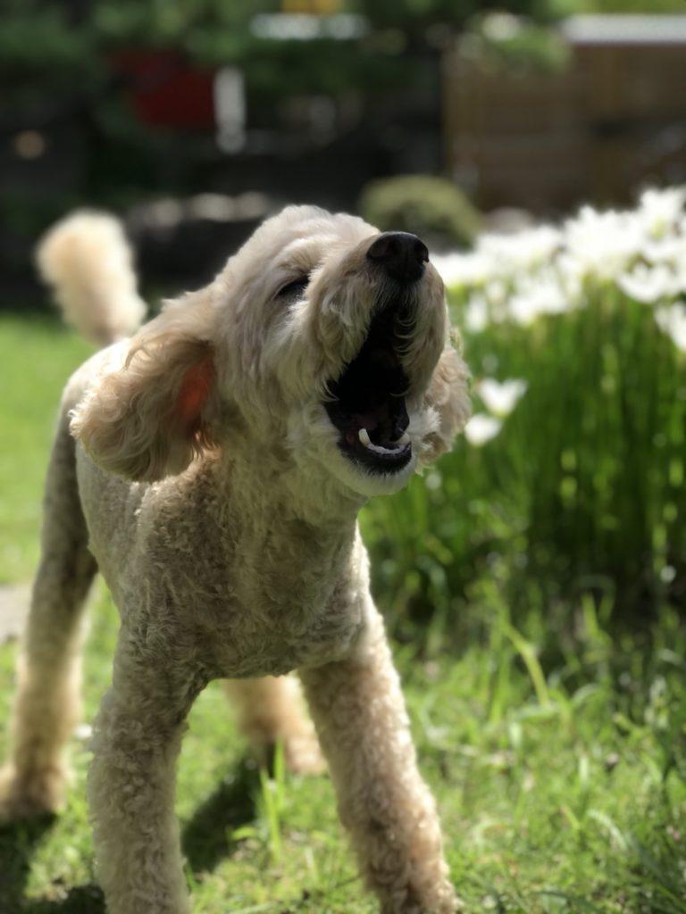 トイプードルが吠えるのをやめさせる方法