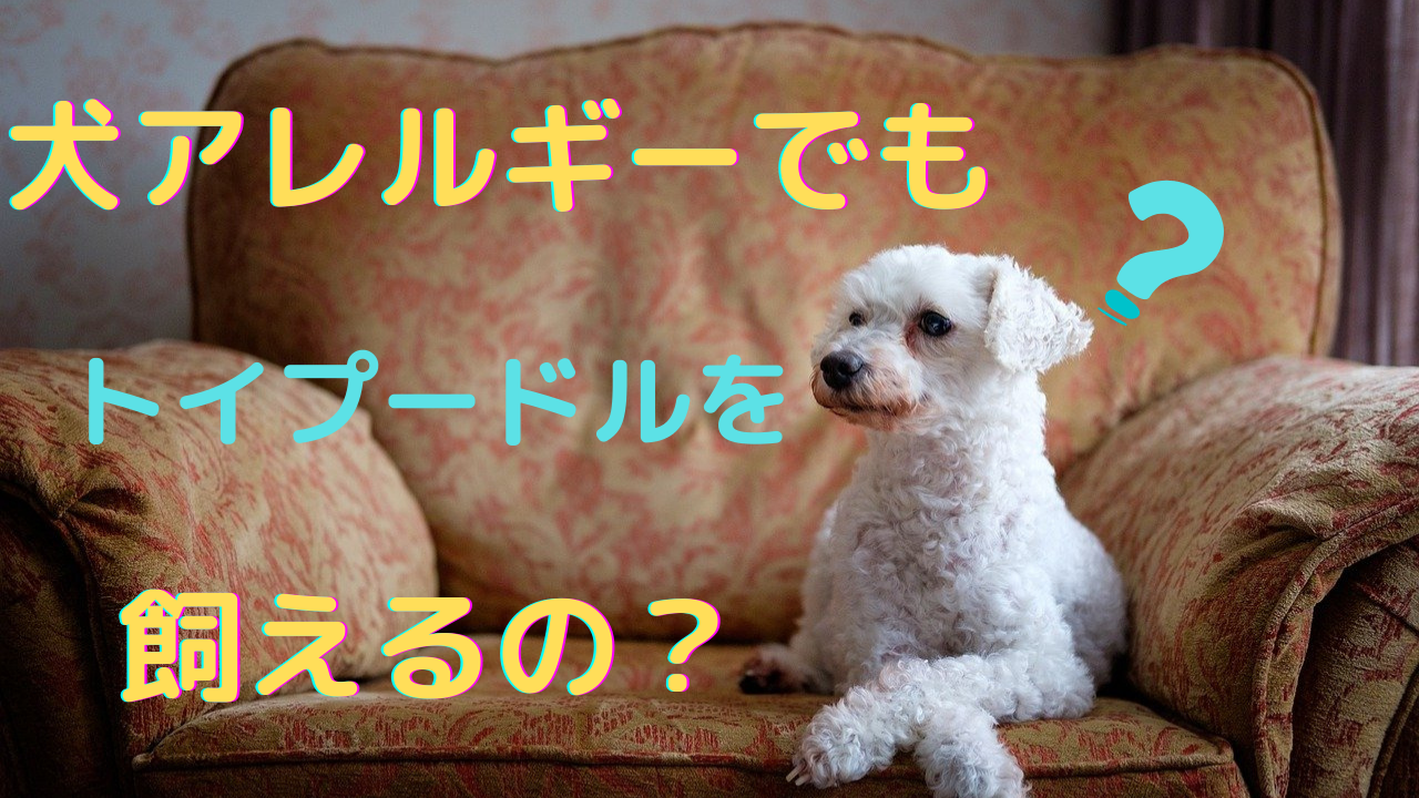 トイプードル 犬アレルギー