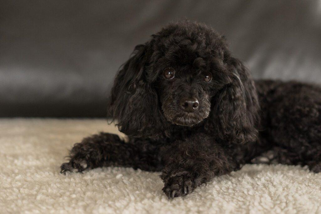 トイプードル 老犬