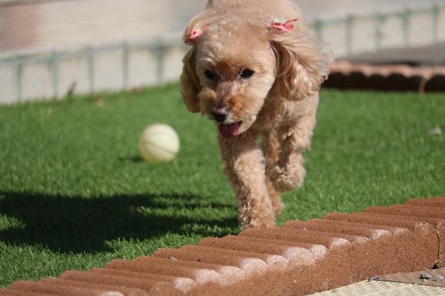 トイプードル ボール 遊ぶ