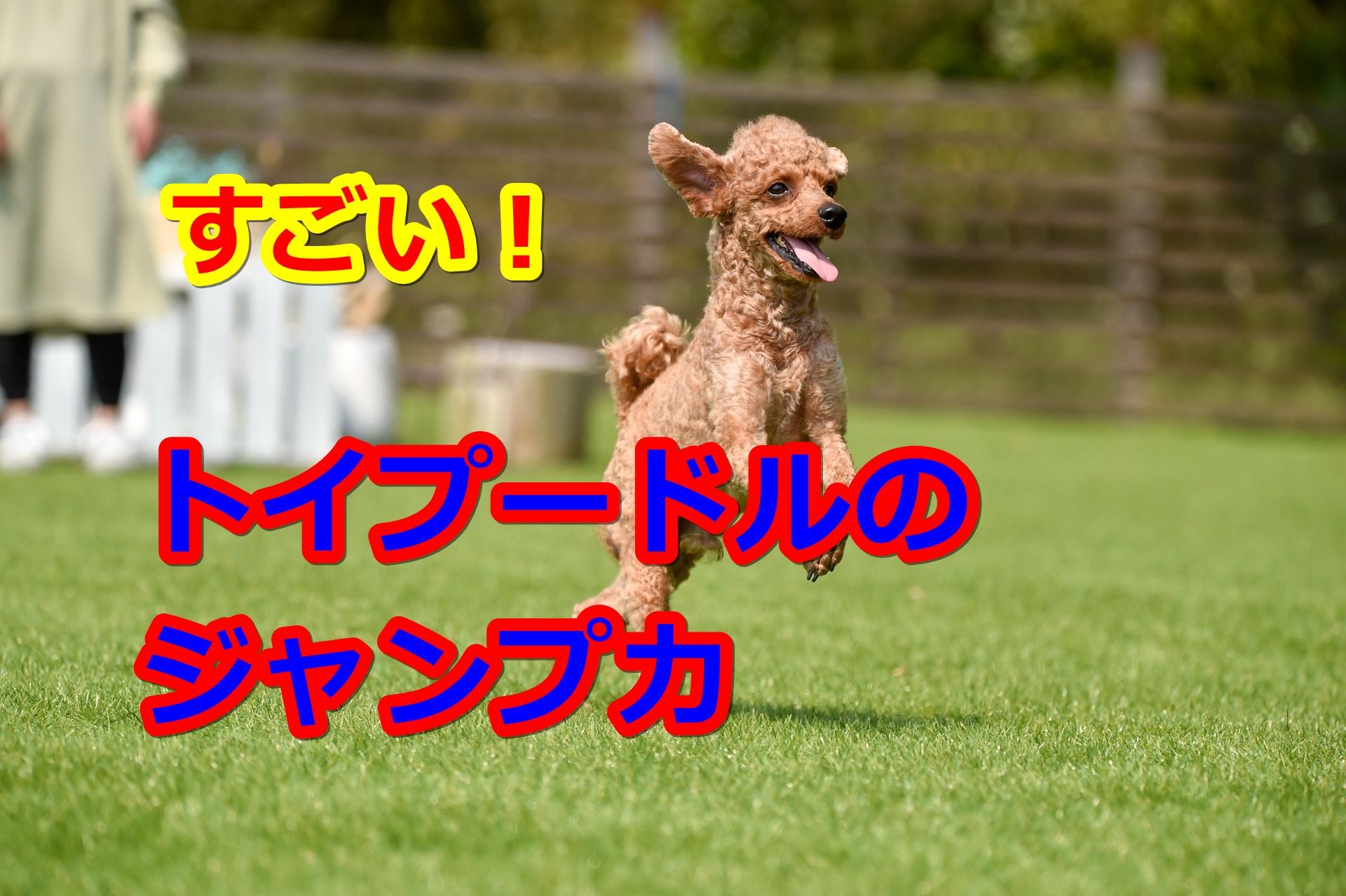 トイプードルのジャンプ力にびっくり!愛犬のジャンプは思わぬ怪我の元