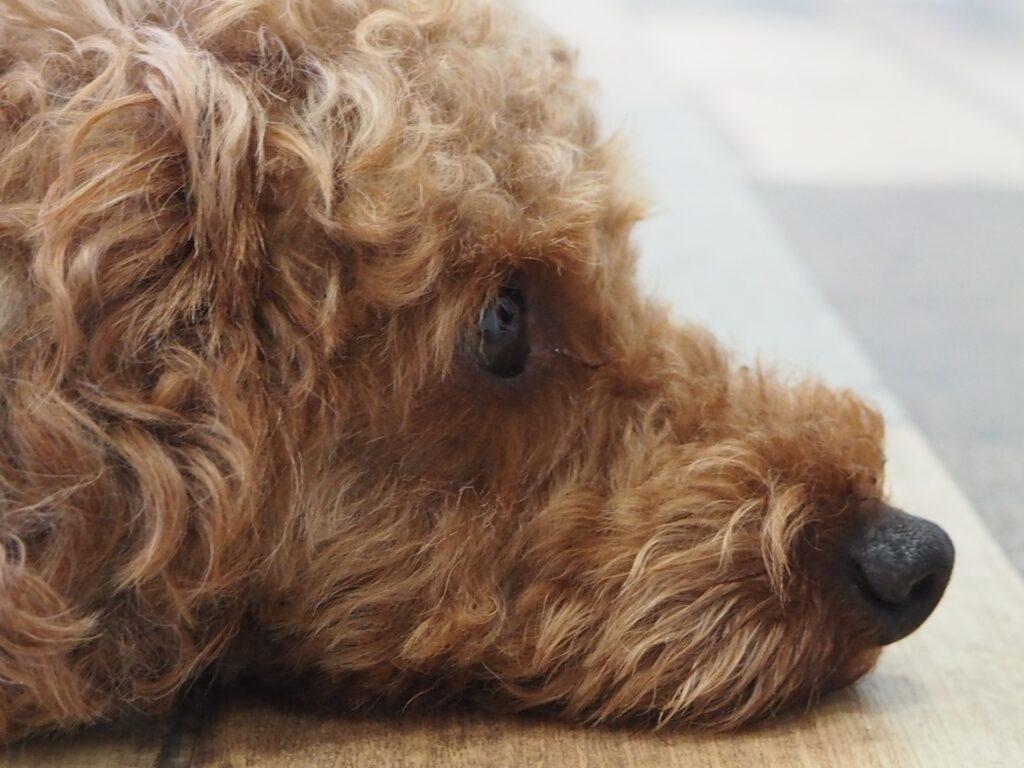 トイプードルの鼻の色と長さは千差万別。嗅覚抜群なトイプードルの鼻