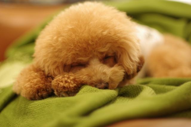 トイプードル 寝顔